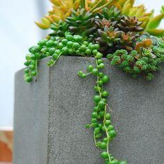 Senecio rowleyensis - Succulents - Avant Gardens Nursery & Design