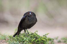 Vacher, Texas, 2013 Cet oiseau pratique le parasitisme de nichée, c'est-à-dire que la femelle pond ses œufs dans les nids d'autres espèces. © Phoo Chan