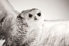 © Joanna Ulfsdotter Photography Owl, Bird, Photography, Animals, Photograph, Animales, Animaux, Owls, Birds