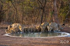 """Photo of Asiatic lions by Uri Golman.  India's western state of Gujarat is home to some of the last wild Asiatic lions in this world.  They used to roam from Greece to Iran to India.  Now there are only about 400 left in the wild.  Big cats are threatened all over the world.  Check out National Geographics """"Cause an Uproar"""" to learn more about their big cats initiative."""