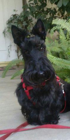 Scottish Terrier Puppy, Scottie Dogs, Rainbow Bridge, Aberdeen, Great Love, Westies, Dog Art, Dog Stuff, New Baby Products