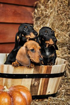 justbelieve2him: *~ Autumn Dachshunds.*~ ♥