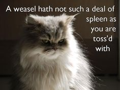 Top 15 most cutest cat breeds Siamese Cats Persian cats Maine coon &n… Funny Cats And Dogs, Cute Cats, Shakespeare Insults, Kentucky, Under Armour, Angry Cat, Cute Cat Breeds, Thing 1, Medical