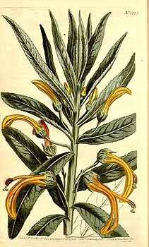 8318 Lobelia excelsa Bonpl. [as Lobelia gigantea Sims]  / Curtis's Botanical Magazine, vol. 32: t. 1325 (1810) [S.T. Edwards]