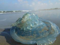 blauwe kwal , aangespoeld met oostenwind