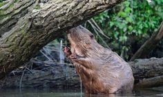 Beaver at the Biesbosch NL