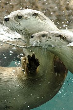 Otter water pair