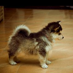 Pomsky- pomerian+husky. My boyfriend say's this is the only kind of little dog we can get.....done!!!