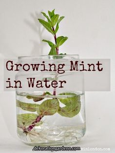 Growing mint tips - how to grow mint in pots and containers for beginners. Grow mint easily indoors and outdoors from clippings and cuttings by propagating in water. Perfect for mint tea. And makes a cool plant science experiment for kids. Indoor Garden, Garden Plants, Indoor Plants, House Plants, Outdoor Gardens, Growing Mint, Growing Herbs, Container Gardening, Gardening Tips