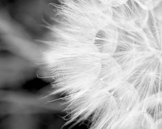 black and white photography dandelion fine art by TheGinghamOwl, $19.00