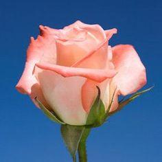 Amazon.com : Fresh Pink Cream Cut Roses  50 Cream and Pink Roses : Fresh Cut Format Rose Flowers : Grocery & Gourmet Food