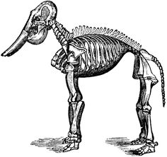 Fossil elephant