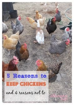 5 Reasons to Keep Chickens and 4 Reasons Not To | The Homesteading Hippy