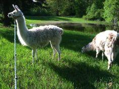 Llamas, courtesy of @DreamThymeFarm #onlyinpgh