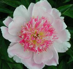 Do Tell herbaceous peony - The anemone form flowers are about 5.5 inches in diameter with good stem strength. Eye-catching dark pink, light pink and pale yellow centers contrast with the soft pink outer petals.