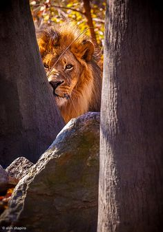 ~~Sometimes you just never know what's around the next corner ~ Male Lion by Alan Shapiro Photography~~