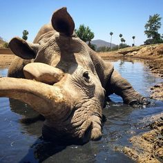 Nola, a female, died in captivity in California after undergoing surgery for a bacterial infection. Safari, Heavy Heart, San Diego Zoo, Sick, Rhinos, World, Death, Bacterial Infection, Buzzfeed News