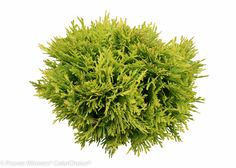 Proven Winners - Anna's Magic Ball® - Arborvitae - Thuja occidentalis plant details, information and resources. Photoshop Images, Photoshop Elements, Landscape Elements, Landscape Design, Trees Top View, Thuja Occidentalis, Tree Plan, Tree Sketches, Watercolor Trees