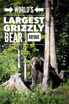 The world's largest enclosed grizzly bear refuge. Boo the orphaned grizzly cub finds safety at Kicking Horse Mountain Resort in Golden British Columbia, Canada. Travel in North America. Ontario, Toronto, Travel Guides, Travel Tips, Travel Hacks, Travel Advice, Travel Essentials, Travel Destinations, Vancouver