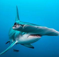 Hammerhead Shark photo by Alan C Egan Underwater Creatures, Underwater Life, Ocean Creatures, Shark Week, Save The Sharks, Shark Photos, Shark Pictures, Fauna Marina, Shark Art
