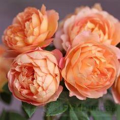 Lady of shalott - zaskakuje odpornością David Austin Roses, Miss Dior, English Roses, Lady, Flowers, Plants, Gardens, Flora, Garden