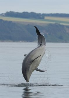 The beautiful Bottlenose dolphin which can be found in the Moray Firth. This incredible creature inspired the name of one of our beers, Bottlenose Bitter. For every litre of the beer sold, we donate to the WDC's Scottish Dolphin Centre to help keep the dolphins in Moray.