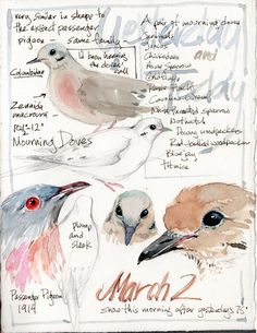 Sketching in Nature: Mourning Doves and their family. Sketching in Nature: Mourning Doves and thei Dove Sketches, Art Sketches, Watercolor Journal, Watercolor Bird, Sketchbook Inspiration, Art Sketchbook, Nature Journal, Journal Art, Daily Journal