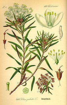 Ledum Palustre / Rhododendron Tomentosum / Northern Labrador Tea / Mamaittuqutik / Tiirluapik. [Flora von Deutschland Österreich und der Schweiz (1885)]