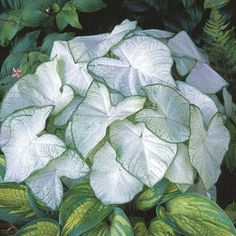 Caladium Bulbs -Florida MoonlightA luminious, almost entirely white leaf makes this caladium variety a total standout! Simply glowing in shady areas, Florida Moonlight is an excellent choice for container planting.Caladium can be grown in any region as an indoor plant, but take care to only start outdoors once nighttime temperatures are high 60's and above.