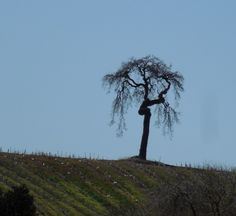 Oak with a Twist taken from Niner Estates in Paso Robles.