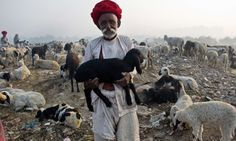 Nomadic shepherds from Rajasthan herd their sheep at a camp on the outskirts of New Delhi on December 9, 2013