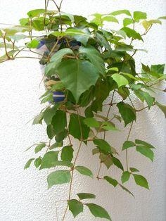 Foto de Cissus rhombifolia - Fotos en InfoJardin