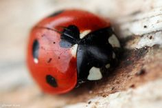 Ladybird by George---Kirk