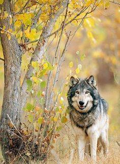 wolf wanderer