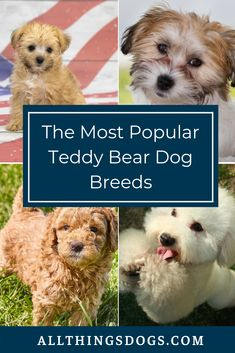 While we all remember our childhood days of cuddling a big fluffy bear, what would it be like to have our own pocket sized teddy bear dog? Read our guide as we list out the most popular teddy bear dog… Small Fluffy Dog Breeds, Cute Dogs Breeds, Fluffy Dogs, Large Dog Breeds, Bear Dog Breed, Teddy Bear Puppies, Yorkie Puppies, Teacup Puppies, Poochon Dog