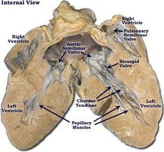 Photo of the Pig Heart-Interior View