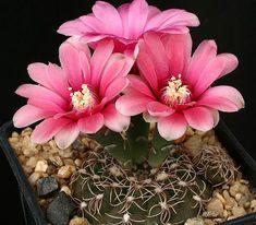 домашние цветущие кактусы