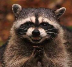 This is my internet identity. The sneaky raccoon.