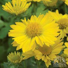 yellow flowering perennials  | Gaillardia × grandiflora Mesa™ 'Yellow'