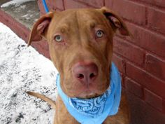 Safe now TO BE DESTROYED SAT 2/8/14 Brklyn Ctr JO A0990243 MALE, BR BRINDL PIT  MIX ***BABY ALERT!!! 1 yr Well-behaved, but has a joy & positive energy about him. Affectionate, gentle & responsive to his person. Sweet around other dogs, wants to play or be in their company. He even did so well on his behavior exam here at the care center and that indicates that he could thrive in just about any home. He did well meeting the helper dog. A volunteer favorite, who would be a plus to any family!