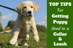 Dog Training Learn a stress free way to get your puppy used to a collar and leash that lays the foundation for a dog that doesn't pull on the leash when an adult. - It's essential that you get your puppy used to a collar and leash as soon Positive Dog Training, Basic Dog Training, Puppy Training Tips, Potty Training, Training Classes, Puppy Leash Training, Training Pads, Training Videos, Training Online