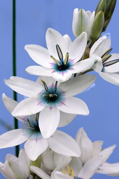 Ixia monadelpha - This South African Cape native bulb creates quite the dazzling display in March & April. Unusual Flowers, Amazing Flowers, White Flowers, Beautiful Flowers, South African Flowers, African Plants, Dame Nature, Indoor Flowering Plants, Floral Photography