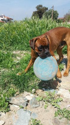 By AGGELOS KORFITATIS and  KRITWN MANOLIS. Pablo and his frisbee!  Oh I can tell you right now : there isn't anything better than my frisbee!! I take it everywhere, I chew it, I chase it. And if anyone wants to get it from me, I chase him as well!!!