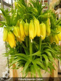 Frittalria+imperalis+Yellow (450×600)