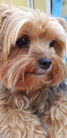 Cute Baby Animals, Animals And Pets, Cute Puppies, Dogs And Puppies, Doggies, Yorkie Hairstyles, Yorshire Terrier, Yorky, Yorkie Dogs