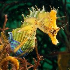 Great Seahorse | Seahorse | creatures great and small