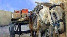O abaixo-assinado chegou a mais de 12 mil assinaturas, que contribuíram MUITO tanto para expor a realidade dos equinos quanto para reivindicar uma lei que os protejam.   No dia 08/01/16 foi aprovada a Lei 7.194/16, de autoria do deputado Dionisio Lins PP e sancionada pelo governador Luiz Fernando Pezão. Está proibido no estado do Rio de Janeiro, o uso de cavalos e jumentos no fretamento de carroças e charretes nos grandes centros para o transporte de cargas, materiais ou pessoas. A exceção…