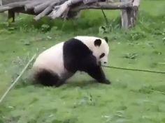 #panda #kungfu #kungfupanda #babypanda #babyanimals #cuteanimals #pandavideos #animalvideos Crazy Animals, Zoo Animals, Animals And Pets, Funny Animal Videos, Cute Funny Animals, Cute Baby Animals, Baby Panda Bears, Polar Bear, Primates