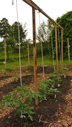Tomato Trellis Ideas to Maximize Your Yield and Easier Picking - DIYerLabs Tomaten-Spalier-Ideen zur Growing Tomatoes Indoors, Growing Tomato Plants, Growing Tomatoes In Containers, Grow Tomatoes, Garden Tomatoes, Staking Tomato Plants, Tomato Trellis, Garden Trellis, Herb Garden