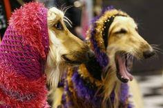 Afghan hounds wear hoods.